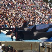 Killer Whales Sea World