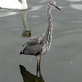 A Heron on the Serpentine.